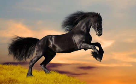 Black Friesian horse in sunset