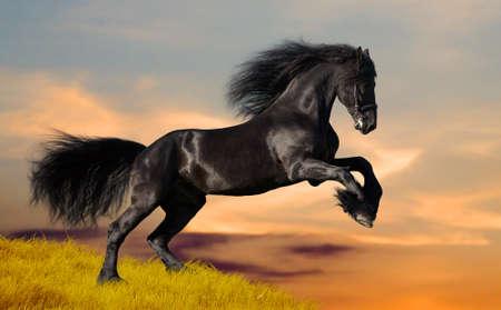 Czarne konie fryzyjskie w zachodzie słońca