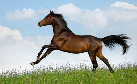 galloping: Bay horse gallops in field at summer Stock Photo