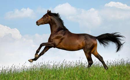 Bay horse gallops in field at summer Standard-Bild