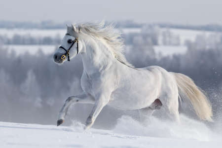 White horse gallops in field