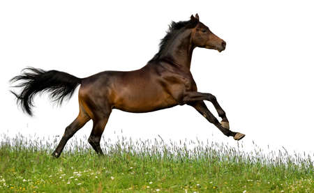 Bay horse runs gallop in field Stock Photo