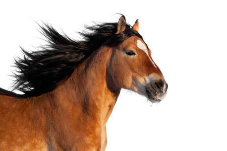 draft horse: Portrait of bay horse isolated on black background