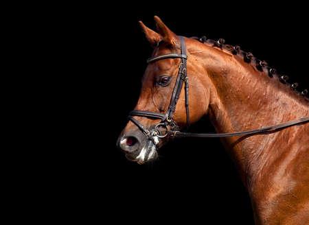 black horse: Retrato de castaño de indias aisladas sobre fondo negro