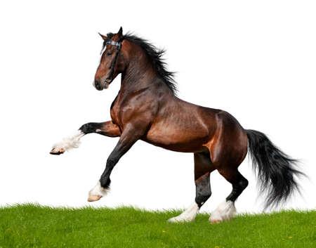 Bay draft horse gallops in field