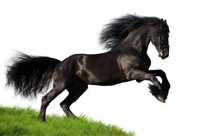 Black Friesian horse runs gallop on the green hill