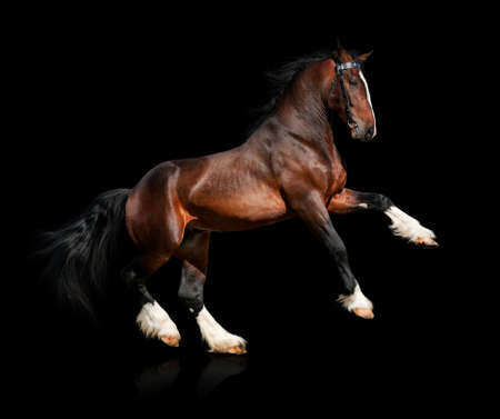 clydesdale: Bay horse isolated on black background