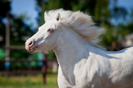 White horse pony runs gallop in pasture at summer  photo