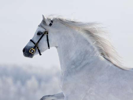 White horse runs gallop in field at winter. Standard-Bild