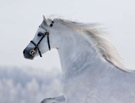 White horse runs gallop in field at winter. photo