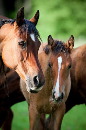 mare: Arabian bay mare with foal in field.