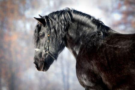 bridle: Portrait of black stallion in winter. Stock Photo