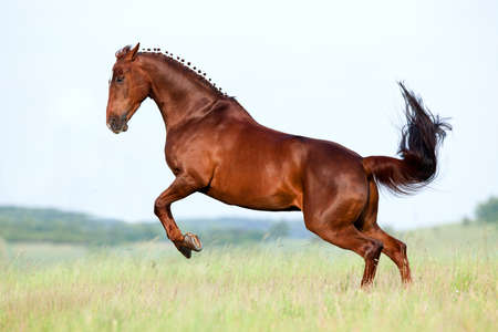 horse tail: Chestnut horse gallops in pasture.