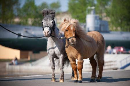 miniature breed: Los caballos miniatura de pie en el muelle.