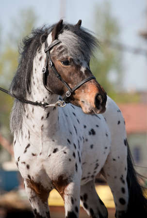 appaloosa: Appaloosa pony portrait in summer. Stock Photo
