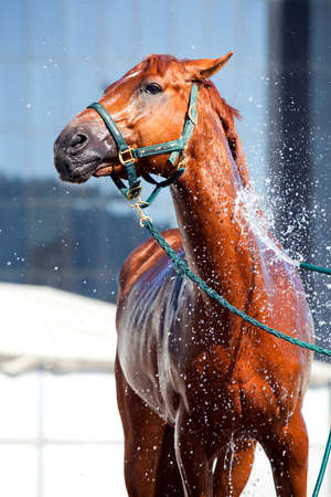 body grooming: Horse washing