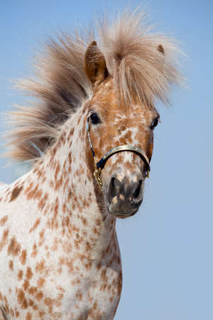 sorrel: Portrait of chestnut in spots miniature horse Stock Photo