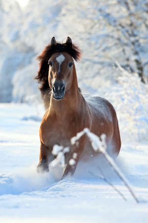 horse in snow: Horse running in winter forest Stock Photo