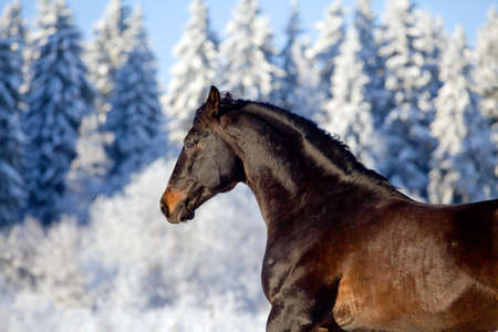 Bay horse runs gallop at snow forest in winter Stock Photo - 13157932