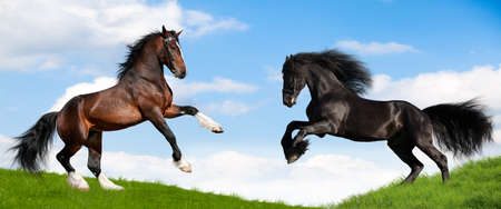 Two draft horses runs gallop on the green hill.