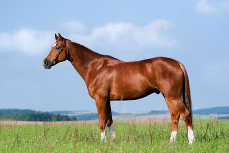 Chestnut Bavarian horse standing on the green hill. Standard-Bild