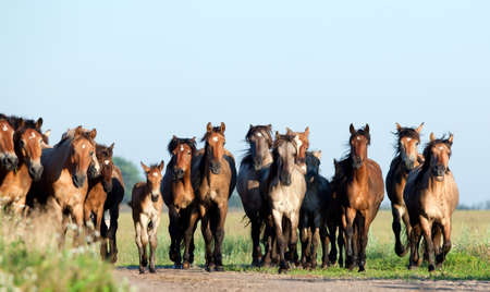 Group of Belarus wild horses in field at morning.
