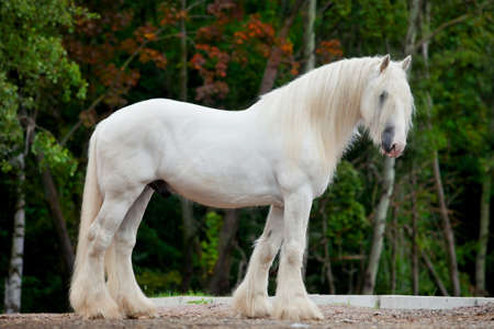 chestnut male: White Shire horse standing in the forest