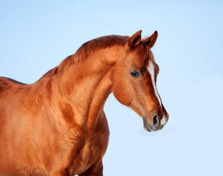 Arabian chestnut horse portrait at blue sky.