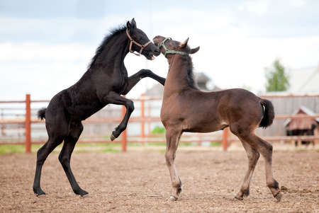 Two Friesian foals playing in the platz at summer. photo