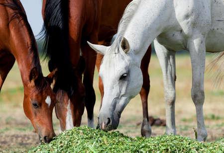 feeds: Arabian horses eat grass in field