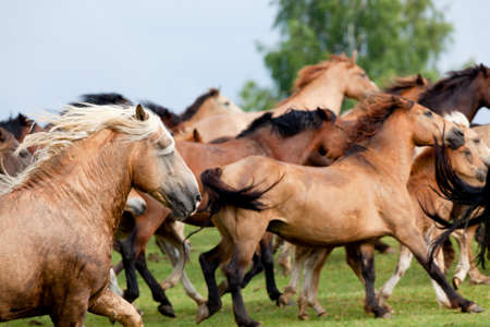 running horses: Group of Belarussian wild horse running on the hill