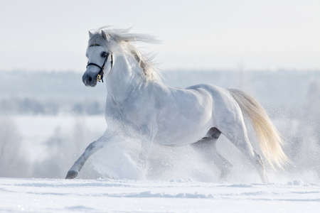 horse in snow: White horse gallops in the field in winter Stock Photo