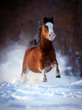 Bay horse galloping fast in winter