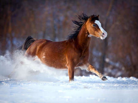 Bay horse galloping fast in winter photo