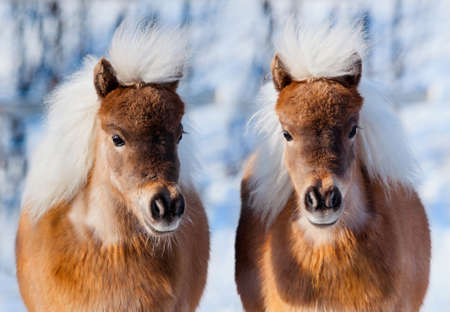 Two ponies in winter forest