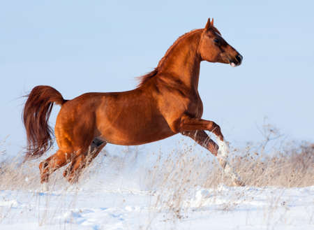 horses in field: Arabian chestnut horse runs in winter