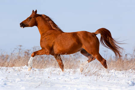 Arabian chestnut horse runs in winter Stock Photo - 17358951
