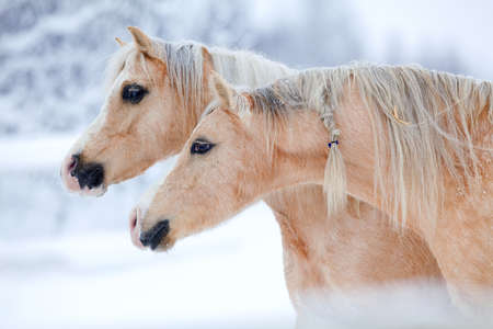 Two beautiful horses on winter background photo