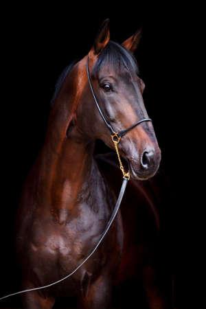 жеребец: Коричневый Портрет лошади на черном фоне