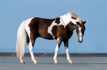 conformation: Shetland pony - conformaci�n