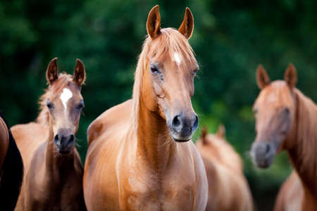 Herd of Arabian horses