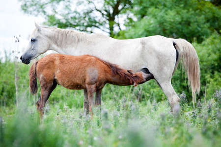 Arabian mare with foal at pasture  photo