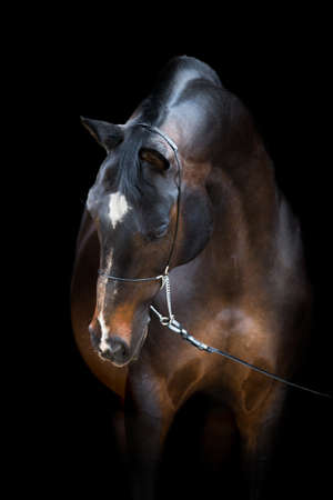 trakehner: Brown horse isolated on black, Trakehner horse
