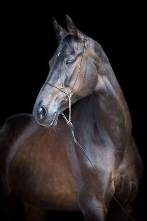 Black horse portrait, Ahal-Teke horse  photo