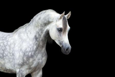 arabian horse: Arabian gray horse isolated on black background