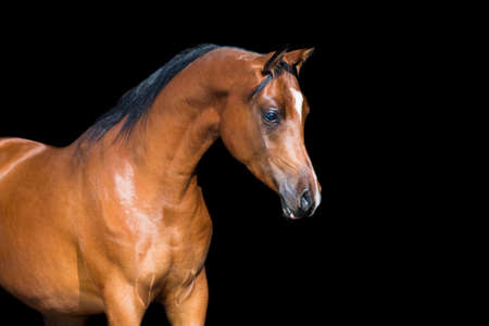 Arabian horse isolated on black background