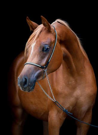 Arabian horse isolated on black background photo