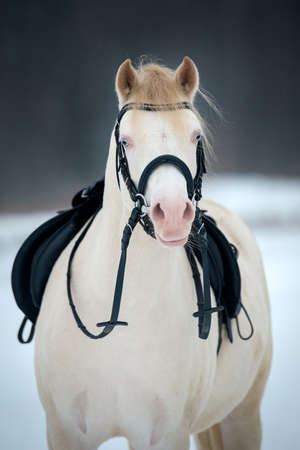 White horse with saddle and bridle in winter  photo