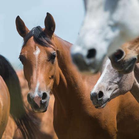 horseback riding: Herd of horses galloping, Arabian horses