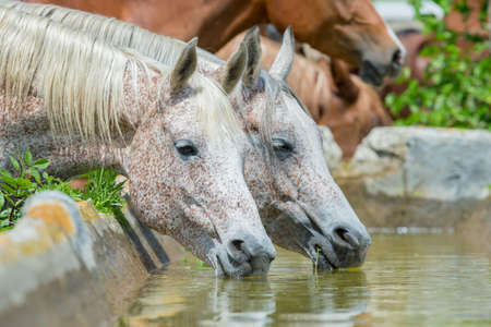 Horses drinking water, Arabian horses  photo